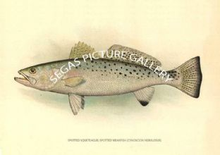 Spotted Squeteague; Spotted Weakfish